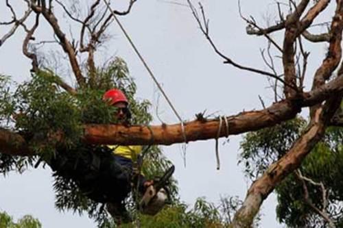 Tree Lopping & Pruning